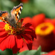 Stock Photo: Butterfly on red flower