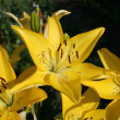 Stock Photo: Yellow beautiful flowers