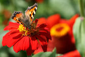 Butterfly on red flower — Stock Photo