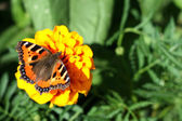 Butterfly on yellow flower — Stock Photo