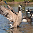 Stock Photo: CANADIAN GOOSE