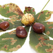 Nice autumn chestnuts — Stock Photo
