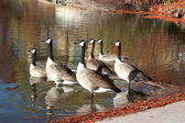 Canadian Geese watching out — Stock Photo
