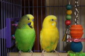 Colorful Parakeets at Rest — Stock Photo