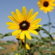 Stock Photo: Wild Kansas Sunflowers