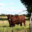 Big Hereford Bull — Stock Photo #2003037