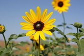 Wild Kansas Sunflowers — Stock Photo