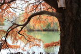 Colorful Bald Cypress Tree. — Stock Photo