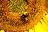 Bee Closeup on Sunflower — Stock Photo