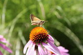 Cone Flower and Moth Closeup. — Stock Photo