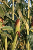 Growing Field Corn — Stock Photo
