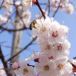 Apricot flower and bee — Stock Photo
