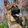 Puppy german shepherd - Stock Photo