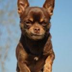 Brown chihuahua — Stock Photo