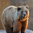 Grizzly Bear Portrait — Stock Photo