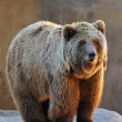 Royalty-Free Stock Photo: Grizzly Bear Portrait
