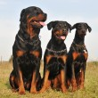 Three guard dogs — Stock Photo