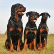 Stock Photo: Three guard dogs