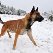Stock Photo: Malinois in snow