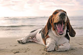 Yawning basset hound — Stock Photo