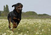 Running rottweiler — Stock Photo