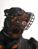 Rottweiler with muzzle — Stock Photo