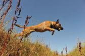 Jumping malinois — Stock Photo