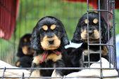 Puppies cockers spaniel — Stock Photo