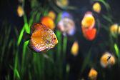 Colorful tropical Symphysodon discus fish in an aquarium — Stock Photo