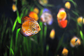 Colorful tropical Symphysodon discus fish in an aquarium — ストック写真