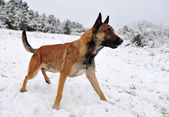 Malinois in the snow — Stock Photo