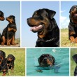 Composite picture rottweiler — Stock Photo