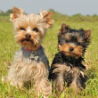 Yorkshire terrier and puppy — Stockfoto