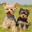 Yorkshire terrier and puppy — Stok fotoğraf