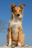 Puppy shetland sheepdog — Stock Photo