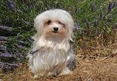 Pies maltańczyk — Zdjęcie stockowe
