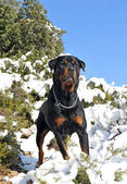 Rottweiler in the snow — Stock Photo