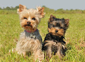 Yorkshire terrier and puppy — Stock Photo
