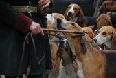Fox hunting — Stock Photo