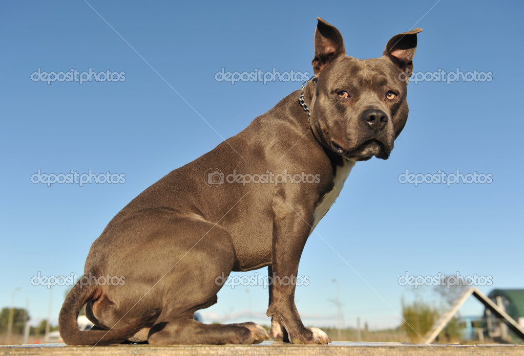 Portrait of an American Staffordshire bull terrier blue on a table  Stock Photo #1854640