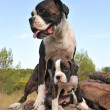 Stock Photo: Mother and puppy boxer