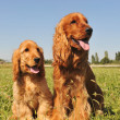 Stock Photo: Cocker spaniel, adult and puppy