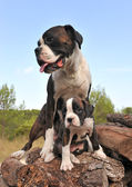 Mother and puppy boxer — Stock Photo