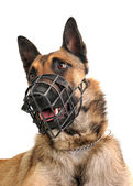 Malinois and muzzle — Foto Stock
