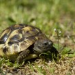 Little turtle — Stock Photo