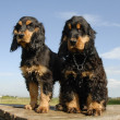 Two puppies purebred english cockers — Stock Photo #1874765