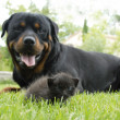 Kitten and rottweiler — Stock Photo