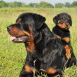 Royalty-Free Stock Photo: Rottweiler and puppy