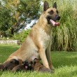 Stock Photo: Malinois and puppies