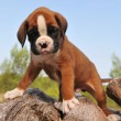 Puppy boxer - Stock Photo